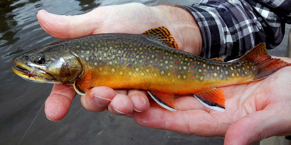 Above average brook trout